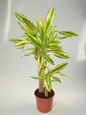 dracaena fragrans 39 gold coast 39 gr npflanzen. Black Bedroom Furniture Sets. Home Design Ideas