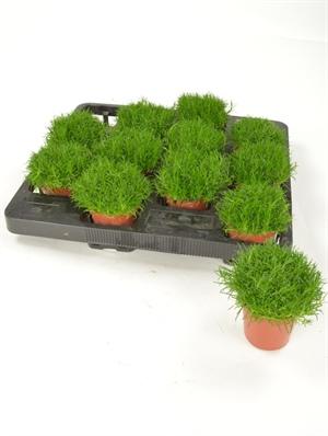 Sagina subulata minipflanzen gr npflanzen gartenbau - Zimmerpflanze sonnig ...