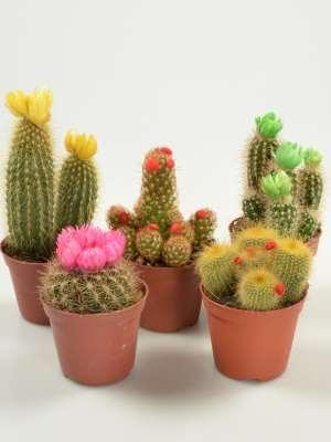 cactus kakteen sukkulenten bonsai gr npflanzen. Black Bedroom Furniture Sets. Home Design Ideas
